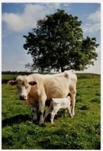 Charolaise et son veau dans un pré : photographie, sans lieu ni date.
