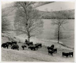 Troupeau de Salers : photographie, Cantal, sans date.