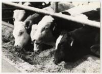 Taurillons Holstein et Pie rouge à la mangeoire : photographie, sans lieu ni date.