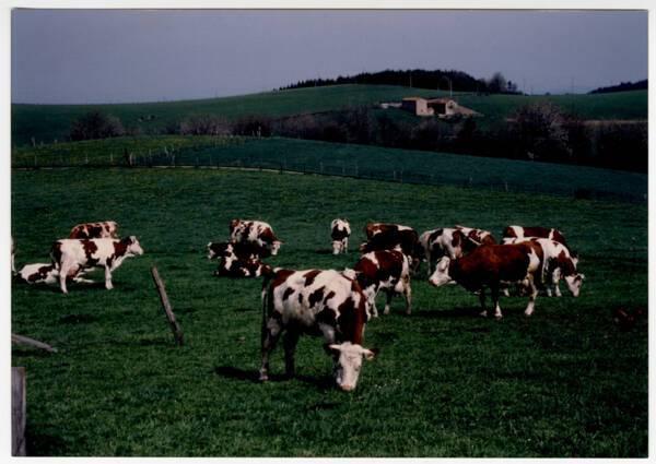 Troupeau de Pies rouges des Plaines dans son pré : photographie, France (?), sans date.