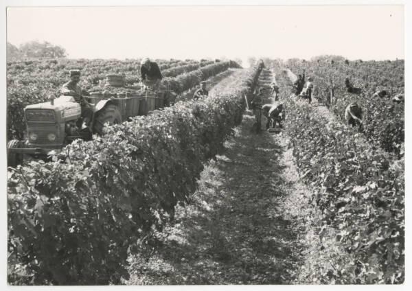 Vendanges au château de Portets (Gironde) : photographie (1975).